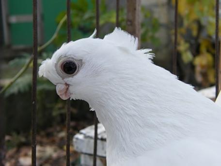 голуби узбек фото